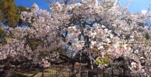 熊谷中央公園の祇園桜